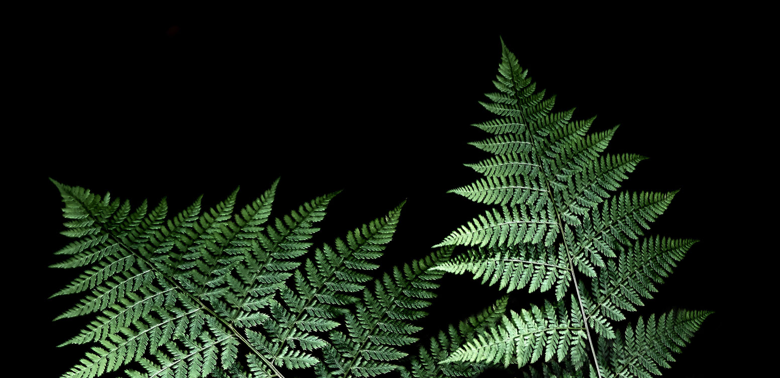 Close up of fern leaves with a black background.
